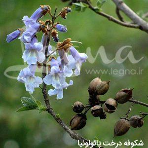 شکوفه درخت پائولونیا