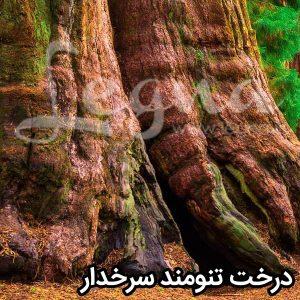 درخت تنومند سرخدار