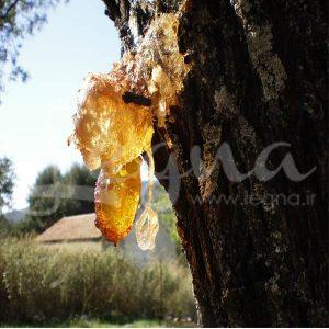شیره درخت
